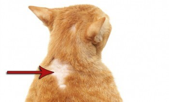 Что дать кошке от аллергии?