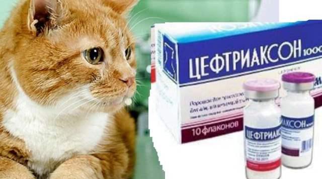 Лидокаин для кошек - дозировка, и как колоть