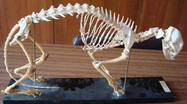 Скелет кошки - строение, анатомия, фото