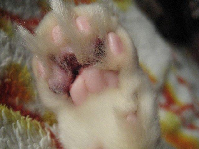 5 причин появления шишки на хвосте у кота - что делать