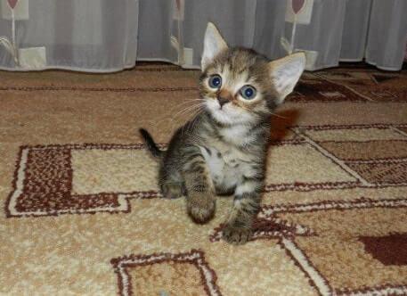 Котенок в доме первые дни - адаптация котенка