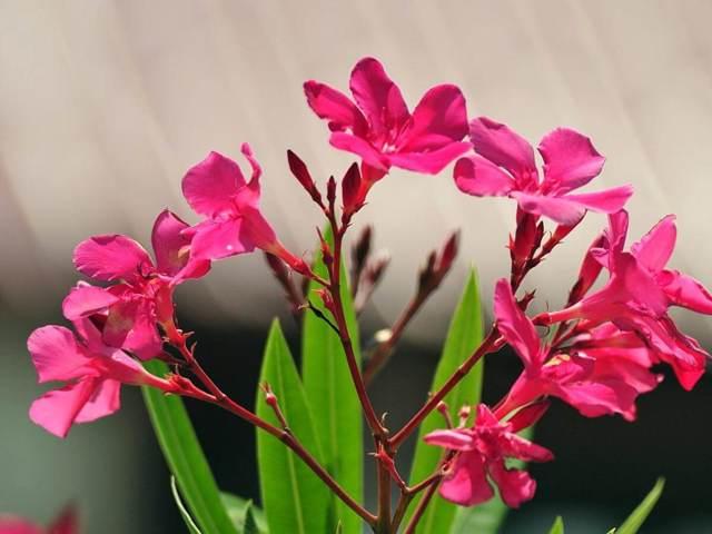 6 ядовитых цветов для кошек - описание растений