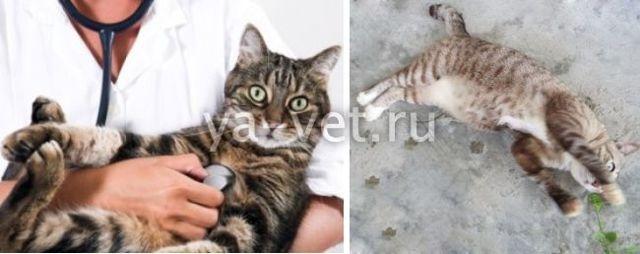 3 причины судорог у кошки - что делать