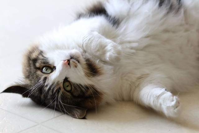 Кошка икает - причины и что делать