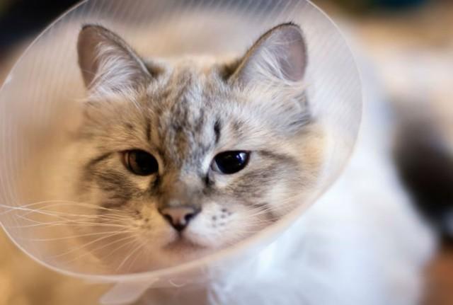 Когда можно кормить кошку после стерилизации и чем