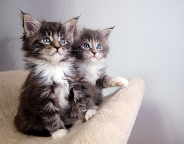 Есть ли у котов соски - зачем они нужны