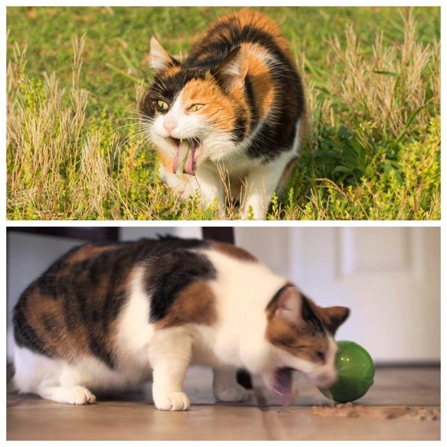 Как вызвать рвоту у кота - что можно давать, а что нельзя