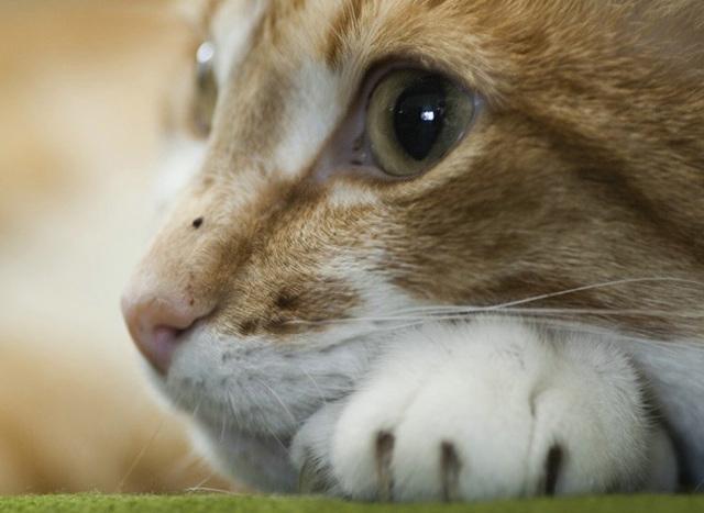 Аспирин кошке - можно ли давать
