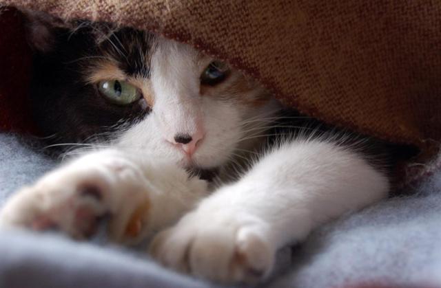 3 причины почему кошки мнут лапами одеяло