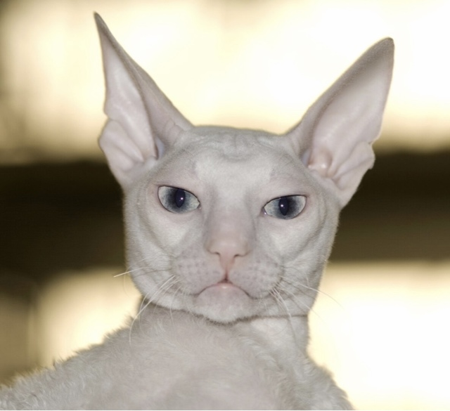 ТОП 7 пород кошек с большими ушами