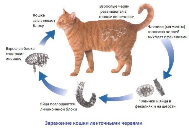 Как избавить кошку от глистов - полезные советы