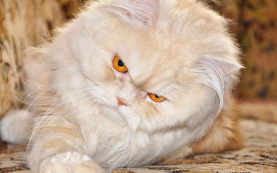 Сколько живут коты персы - в домашних условиях