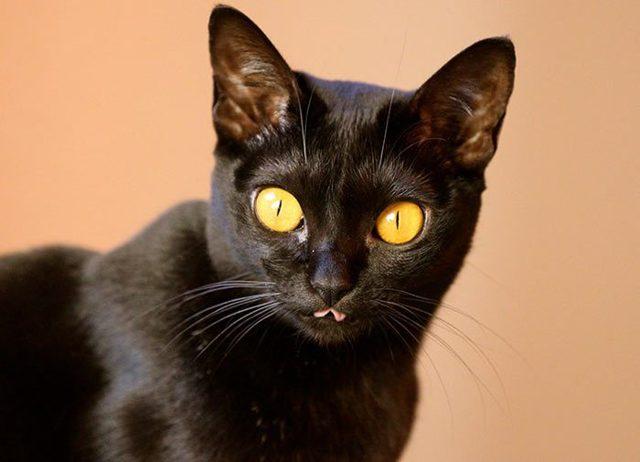 Кот показывает язык - причины, болезнь ли это