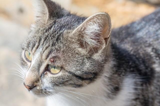 6 причин почему у кошки слезится один глаз