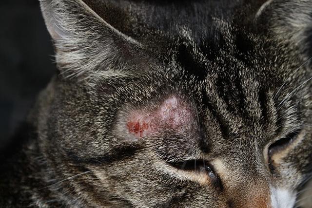 Аллергический дерматит у кошек виды и особенности лечения