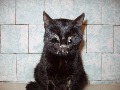 Насморк у кота: как и чем лечить в домашних условиях