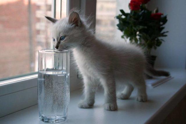 Сколько воды в сутки нужно пить взрослой кошке