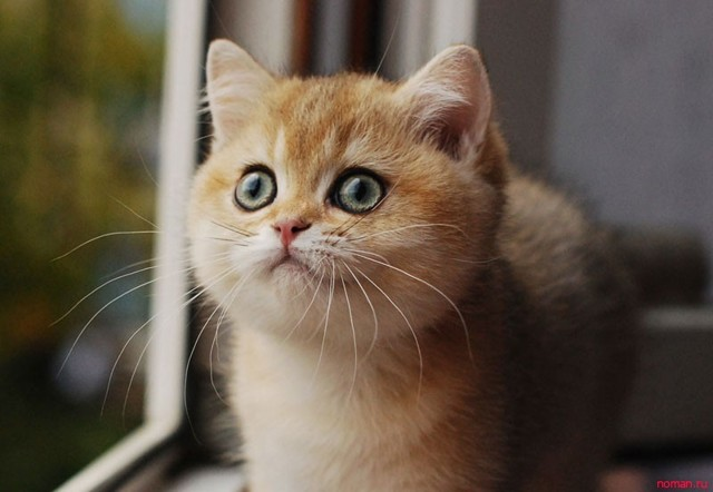 Как приучить котенка к горшку - поэтапное приучение