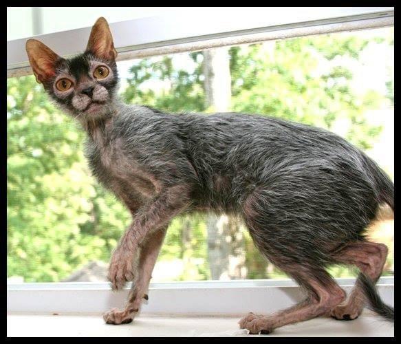 Самый страшный кот в мире - описание породы