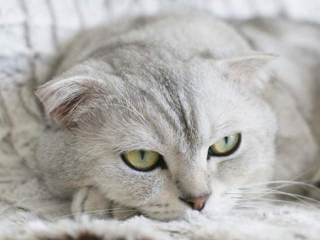 У кота болит горло: симптомы, причины, лечение