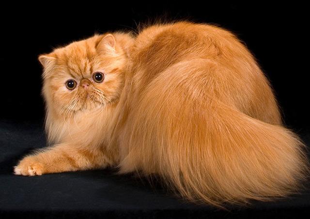 Породы рыжих котов - фото, характеристика и описание