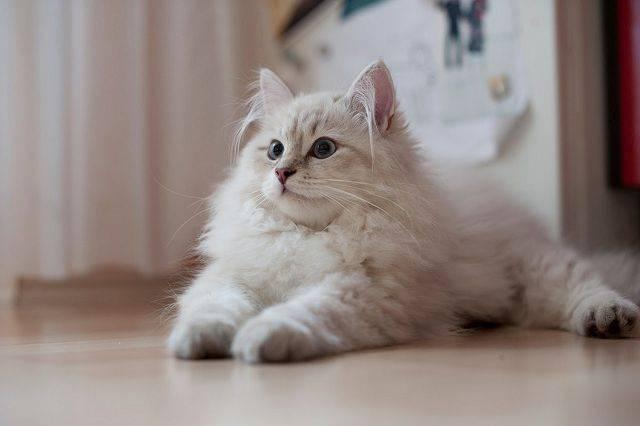 Колтуны у кошки - как избавиться, профилактика