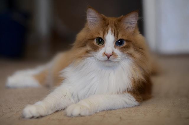 Травматин для кошек - инструкция по применению препарата