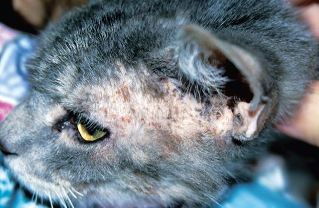 7 причин почему у кота красные уши