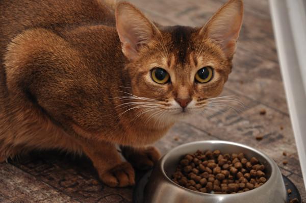 6 симптомов кардиомиопатии у кошек - как лечить