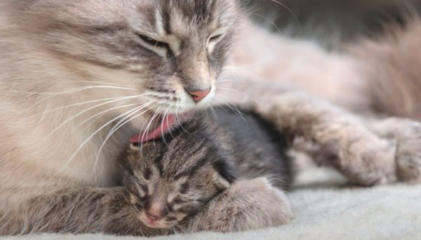 Лечение ФИПа у кошек - как вылечить