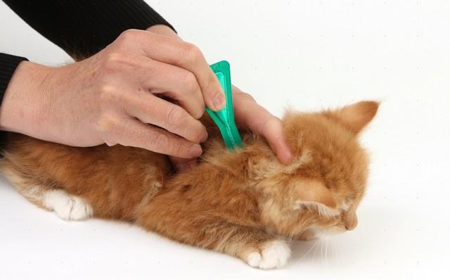 Кошка расчесала ухо до крови - что делать, причины, профилактика