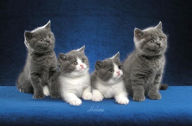 ТОП 10 самых дорогих пород кошек в мире - цены и описание
