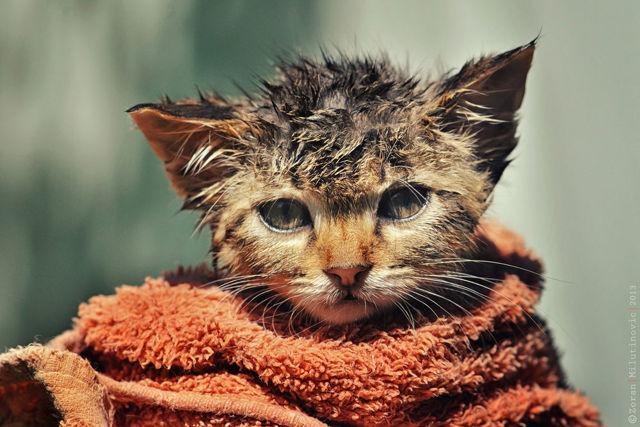 cухой шампунь для кошек - применение, плюсы и минусы