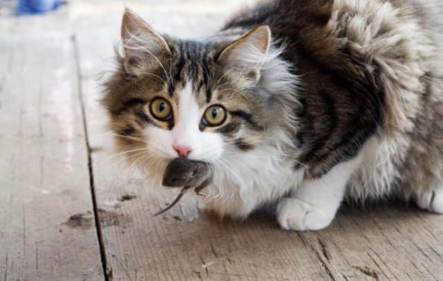 Кот съел отравленную мышь - что делать, симптомы и лечение