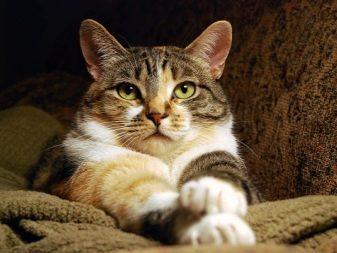 Что означает мурлыканье кошки?