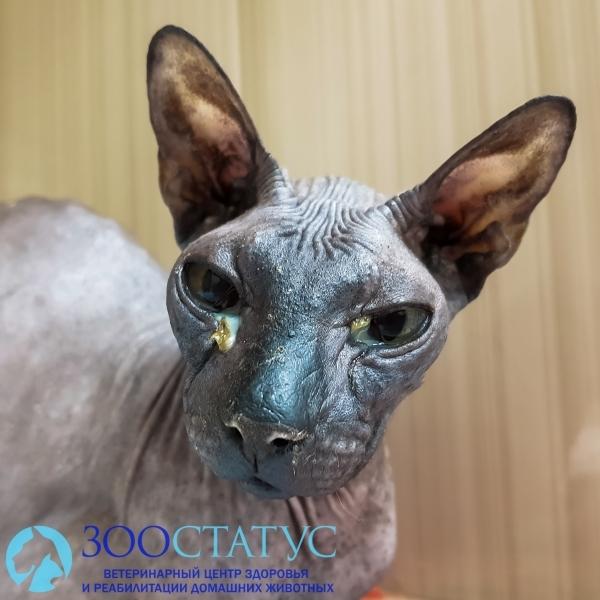 Ринотрахеит у кошек - симптомы, лечение профилактика, диагностика