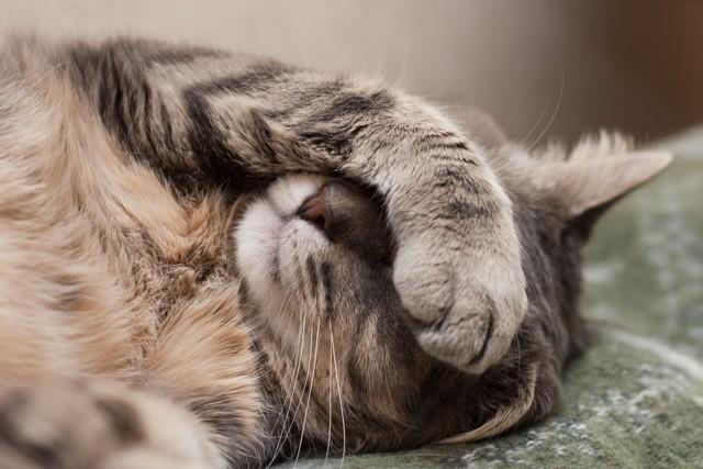 6 причины почему у кота опухло ухо - как лечить