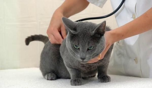 Когда можно стерилизовать кошку после течки