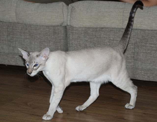 4 причины почему у кота висит хвост?