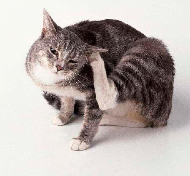 Кошка расчесала шею до крови - что делать и чем лечить