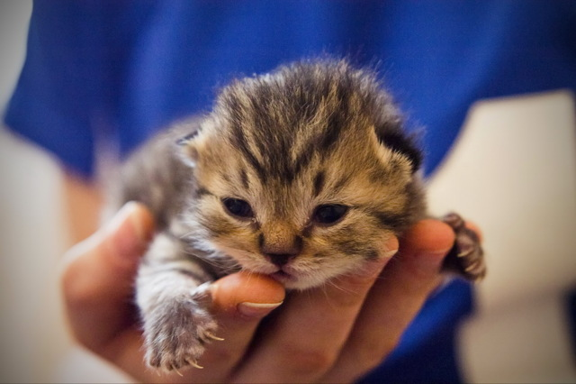 Когда котята открывают глаза - уход за котенком