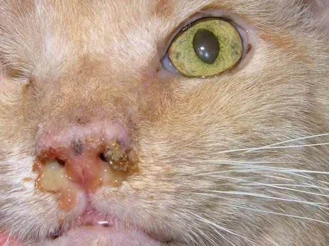 Гной из носа у кошки - что делать, причины, как лечить?