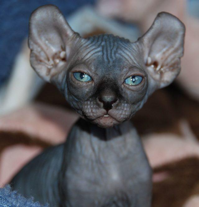 Кошка Эльф - фото, описание и характеристика породы