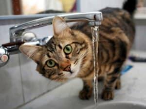 Как научить котенка пить воду