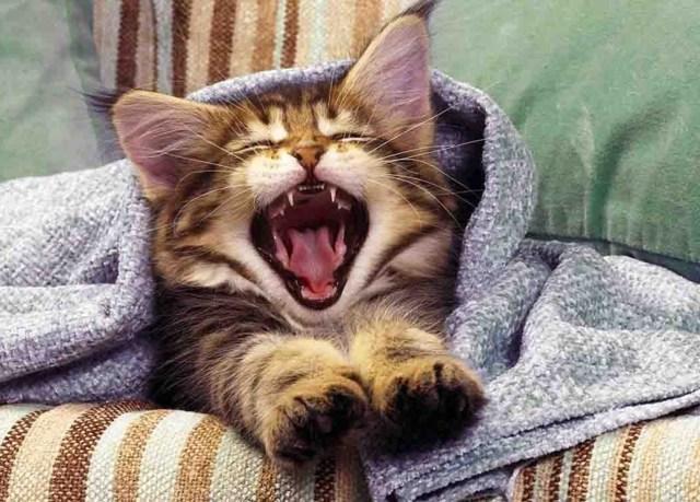 4 причины почему кошки зевают