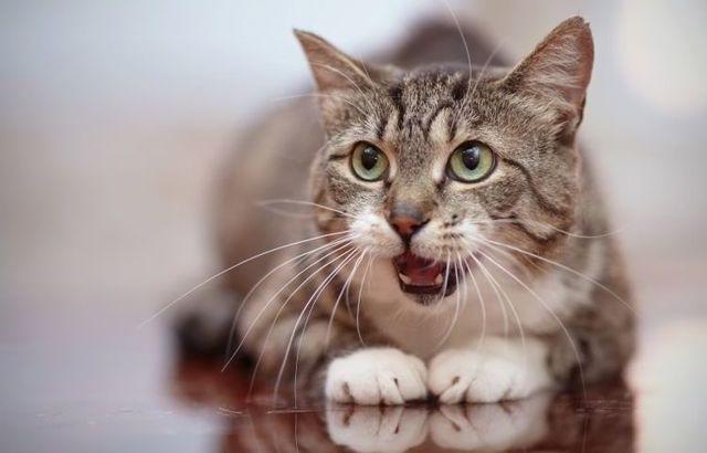 Кот дышит как собака, высунув язык - причины и что делать