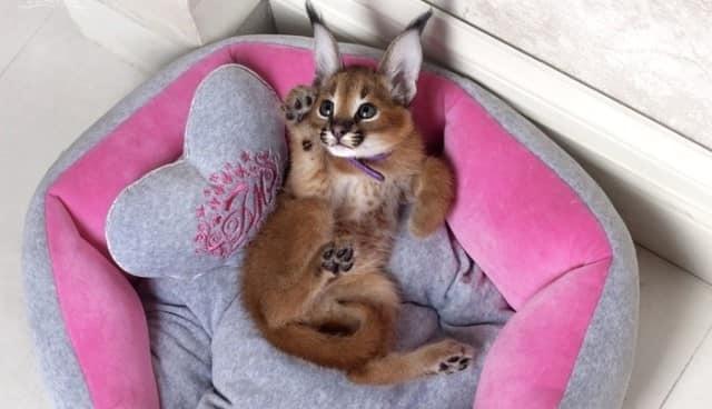 Кошка каракал - описание, характер, цена, характеристика