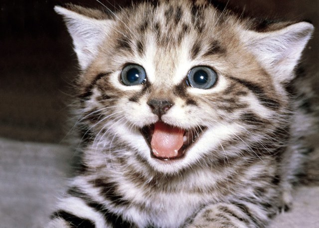 Почему стерилизованная кошка орет - причины